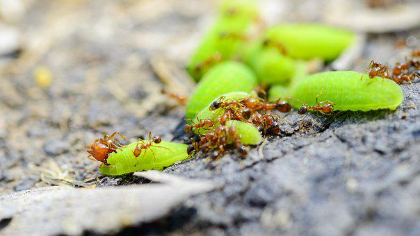 Ant, Worm, The Ant Eat Worm, Fire Ants, Solenopsis
