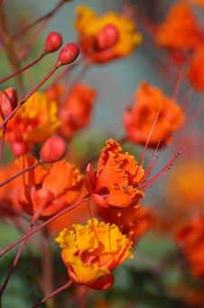 Red Bird Of Paradise, Flowers, Orange, Garden, Summer