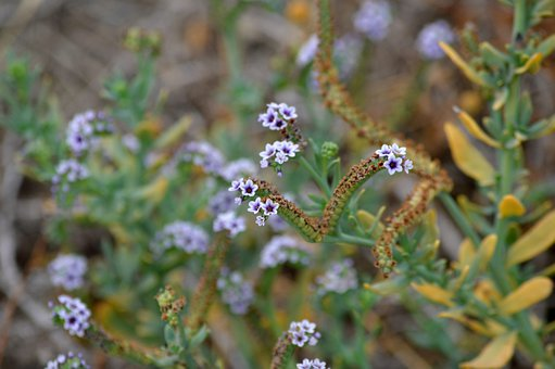 Flowers, Shrub, Nature, Blue, Lavender, Plant, Garden