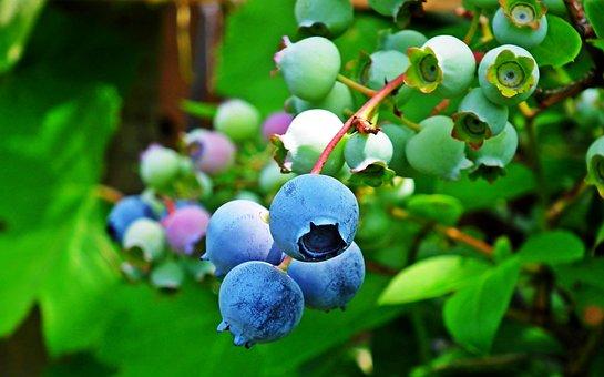 Bilberry American, Fruit, Closeup, Nature, Garden, Bush