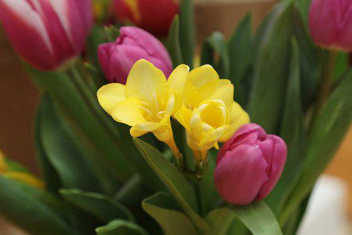 Flowers, Tulips, Garden, Nature, Bloom, Flora, Holland