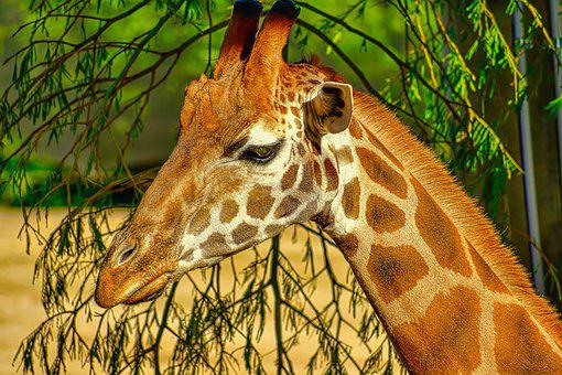 Giraffe Portrait, Big Animal, Zoo, Africa, Animal, Head