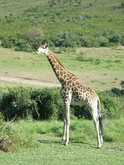 South Africa, Giraffe, Safari, National Park, Animal