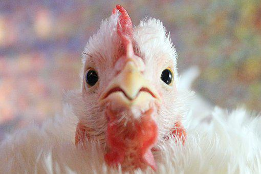 Chicken, Hen, Curly, Poultry, Animal, Nature, Livestock