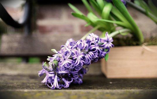 Hyacinth, Spring Flower, Flower, Flowers