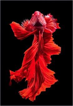Carp, Koi Fish, Red, Excellent, Animal, Black Fish