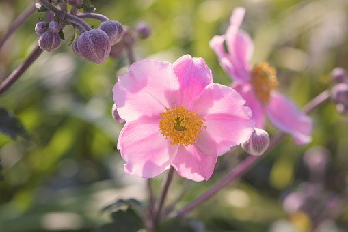 Anemone, Pink, Blossom, Bloom, Flower, Late Summer