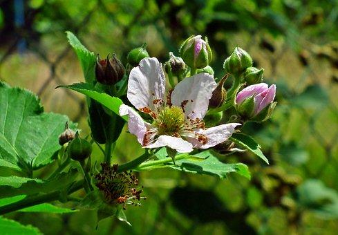 Blackberry Bezkolcowa, Flowers, The Buds, Nature, Bush