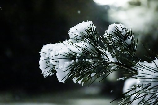 Snow, Pine, Winter, Christmas, Forest, Nature