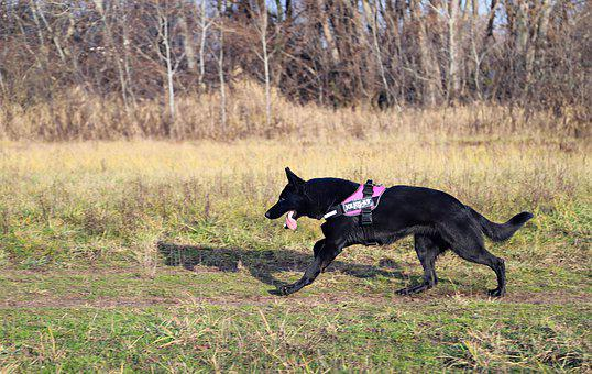 Black German Shepherd, Dog, Nice, Running, Freedom