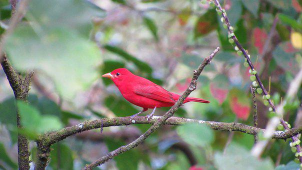 Ave, Tropical, Costa Rica, Red, Nature, Colorful, Peak