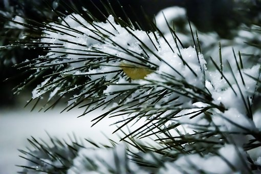Snow, Pine, Leaf, Winter, Christmas, Forest, Nature