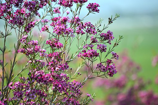 New Zealand Tea Tree, Flowers, Bush, Purple, Pink