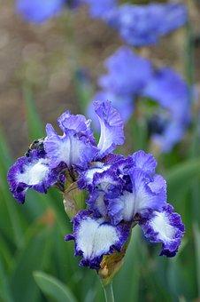 Iris, Purple, Flowers, Garden, Spring, Blossom, Nature