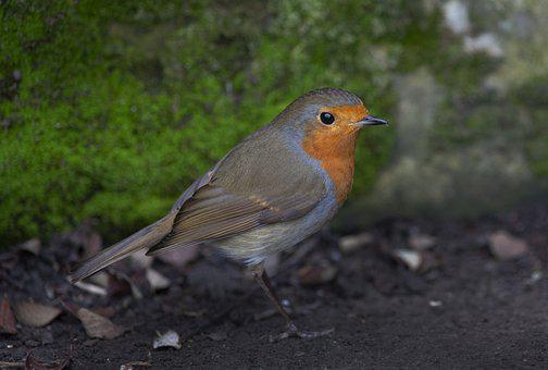 Robin, Wildlife, Bird, Garden, Nature, Cute, Animal