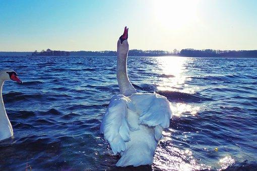 Mute Swan, Tom, Spitting Water, Birds, Sunset, Lake