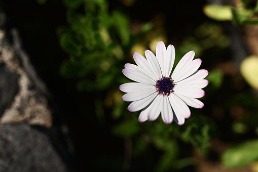 Marguerite, Flower, Blossom, Bloom, Spring, Summer