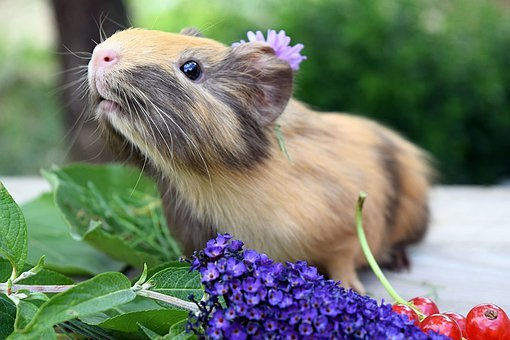 Guinea Pig, Pet, Animal, Cute, Small, Sweet, Pig, Cavy