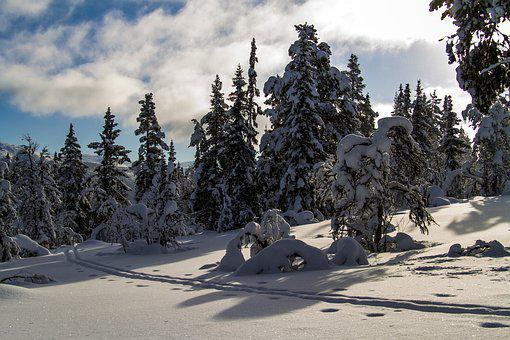 The Forest, Trees, Snow, The Nature Of The, Landscape