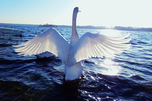 Mute Swan, Tom, Wings, Sunset, Lake, Landscape