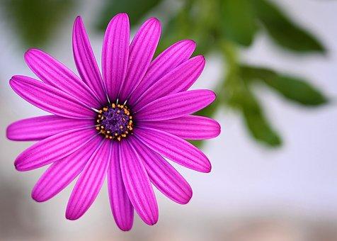 Marguerite, Flower, Blossom, Bloom, Spring, Violet