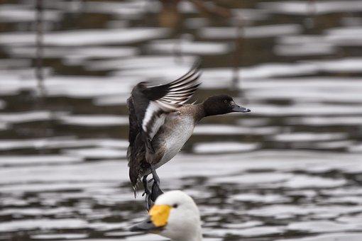 Animal, Pond, Water, Bird, Wild Birds, Duck, A