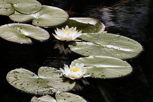Water Lily, Pond, Flowers, Flower, Blossom, Water