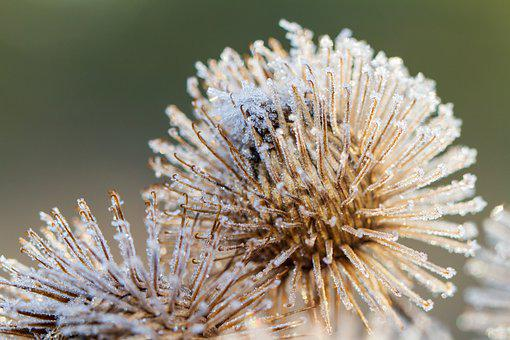 Burdock, Wild Plant, Faded, Snow, Winter, Frost, Frozen