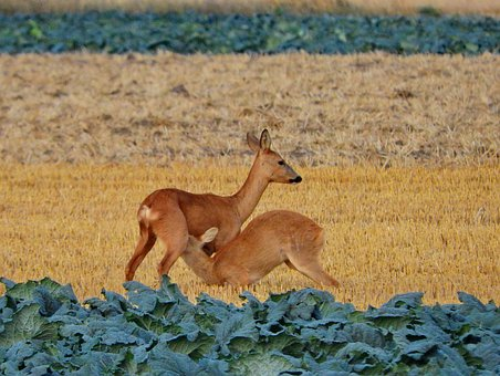 Roe Deer, Suckle, Young Animal, Kitz, Cabbage Field
