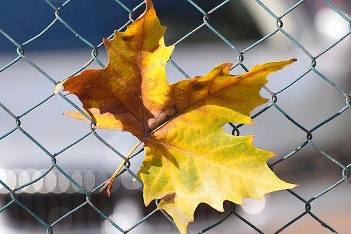 Leaf, Yellow, Brown, Autumn, Fence, Wire, Almost