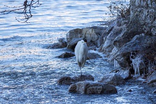 Bird, Lake, Water, Nature, Animal, White, Wildlife