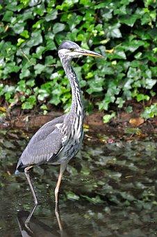 Heron, Grey Heron, Bird, Plumage, Bill, Animal World
