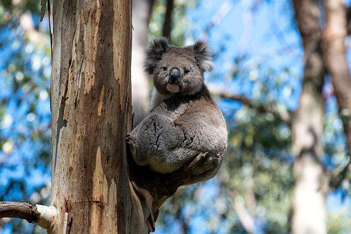 Koala, Australia, Wildlife, Australian, Marsupial