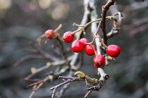 Hawthorn, Meidoorn Bessen, Berries, Red, Medicinal