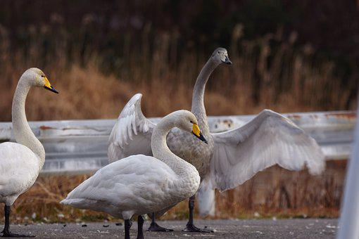 Animal, Pond, Road, Bird, Wild Birds, Swan