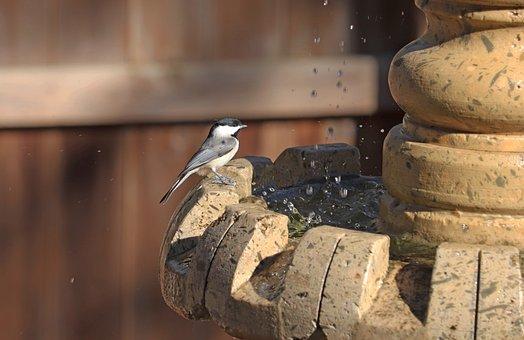 Bird, Bird Bath, Splashing Water, Animal, Chickadee