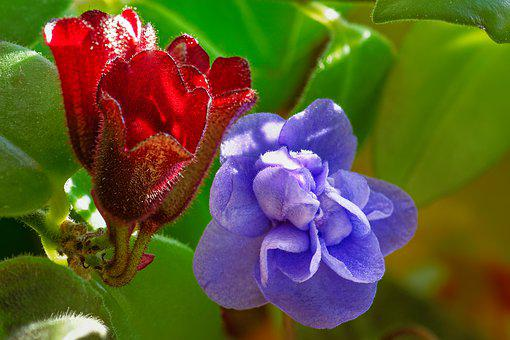African Violets, Blossom, Bloom, Bud, Bloom, Leaves
