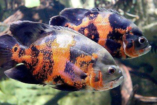 Fish, Sea Fish, Aquarium, Color Orange And Black, Ocean