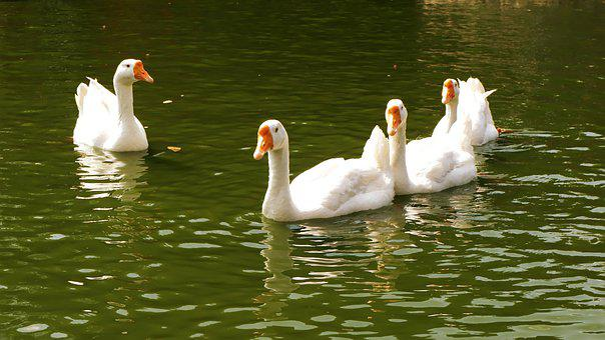 Duck, Nature, Lake, Animals, Bird, Mallard, Goose