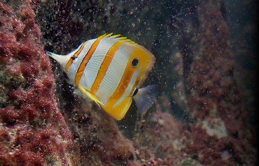 Aquarium, Fish-surgeon, Fish, Exotic, Sea water