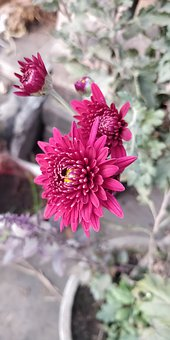 Flower, Dahlia, Bloom, Pink, Red, Nature