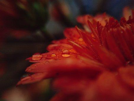Dew, Drops, Flower, Season, Color, Water, Glory