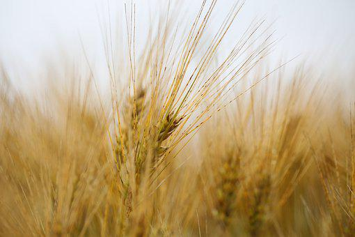 Spike, Grain, Wheat, Field, Agriculture, Cornfield
