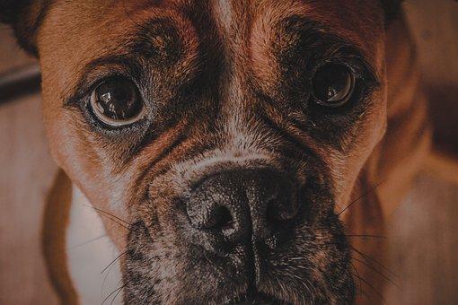 Dog, Boxer, Animal, Portrait, Head, Cute, Purebred
