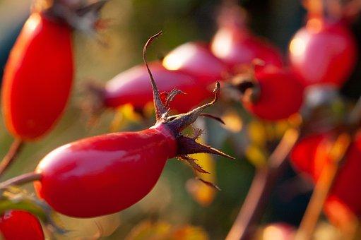 Rose Hip, Autumn, Tee, Jam, Autumn Fruits, Bush