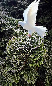 Dove, Juniper, Ornamental, Frost, Winter, Composing