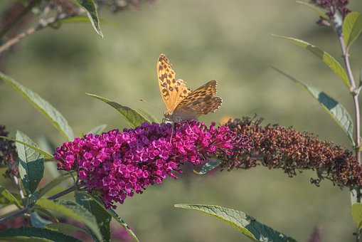 Butterfly, Edelfalter, Butterflies, Orange, Lilac