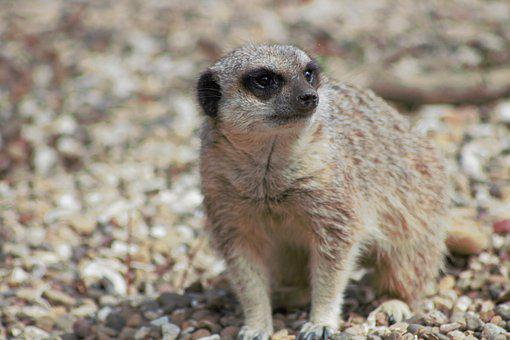 Meerkat, Zoo, Cute, Mammal, Nature, Fur, Small, Sweet