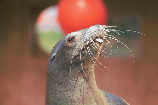 Sea, Sealion, Animal, Marine, Ocean, Mammal, Aquatic