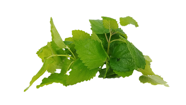 Mint, Hub, Spearmint, The Leaves, Cup, Tee, Health